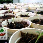 您家裡也能種生蠔葉了!生蠔葉種苗 (土耕)